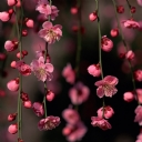 Pembe Yaz Çiçeği