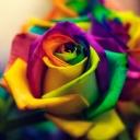 Renkli Gül