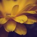 Sarı Çiçek 1