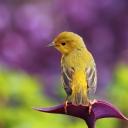 Sarı Kuş 1