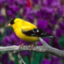Sarı - Siyah Kuş