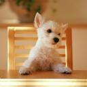 Sevimli Köpek