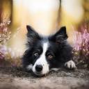 Sevimli Köpek 4