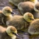 Sevimli Ördek Yavruları