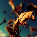 Solmuş Yaprak