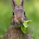 Tavşan 3