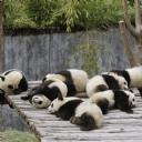 Uyuyan Pandalar