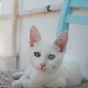 Van Kedisi Odd Cat