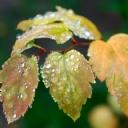 Yağmur sonrası Yapraklar