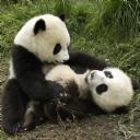 Yavru Pandalar