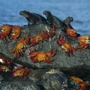 Yengeçler ve Deniz İguanaları