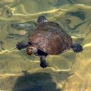 Yüzen Kaplumbağa